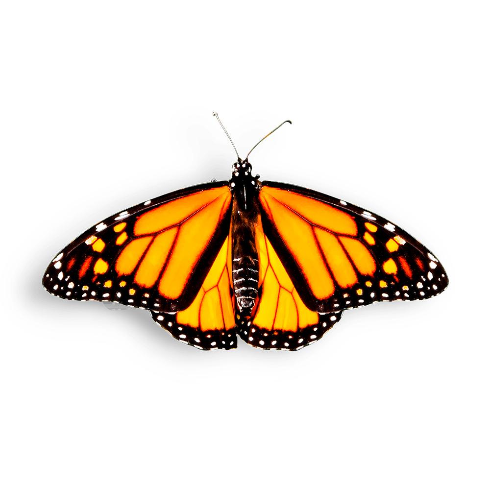Mariposa Monarca en fondo blanco   Mariposas Metamorfosis